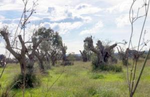 Le piante di ulivo mutilate nell'agro salentino