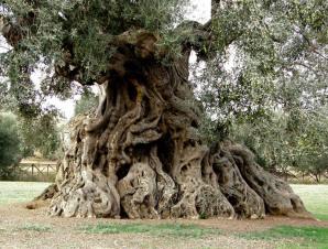 Una pianta di ulivo secolare della campagna leccese