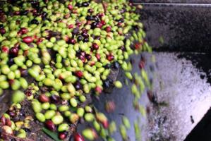 Coratina e Peranzana sono le cultivar prodotte che vengono poi lavorate attraverso il metodo della spremitura a freddo