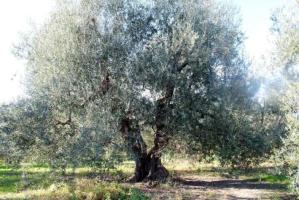 Una pianta secolare di olivo nella zona di Castel del Monte