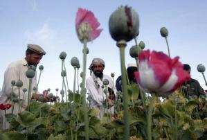 Le piantagioni di oppio in Afghanistan
