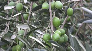 olive_massimo_cori